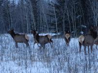 Eine Gruppe von Elk zeigt die auffaelligen Hinterteile, die deutlich heller sind als das restliche Fell.