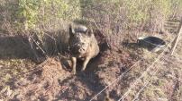 Schwein Bobba ist aufgerichtet und schaut fragend in meine Richtung,