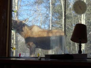 Ein Elch steht direkt vor unserem Wohnzimmerfenster und streckt den Kopf.